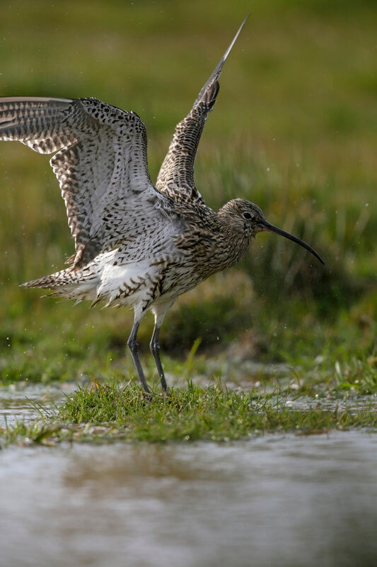 Curlew Takeoff RSPB