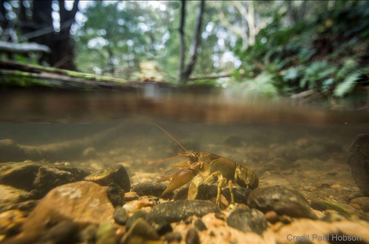 Paul Hobson Crayfish