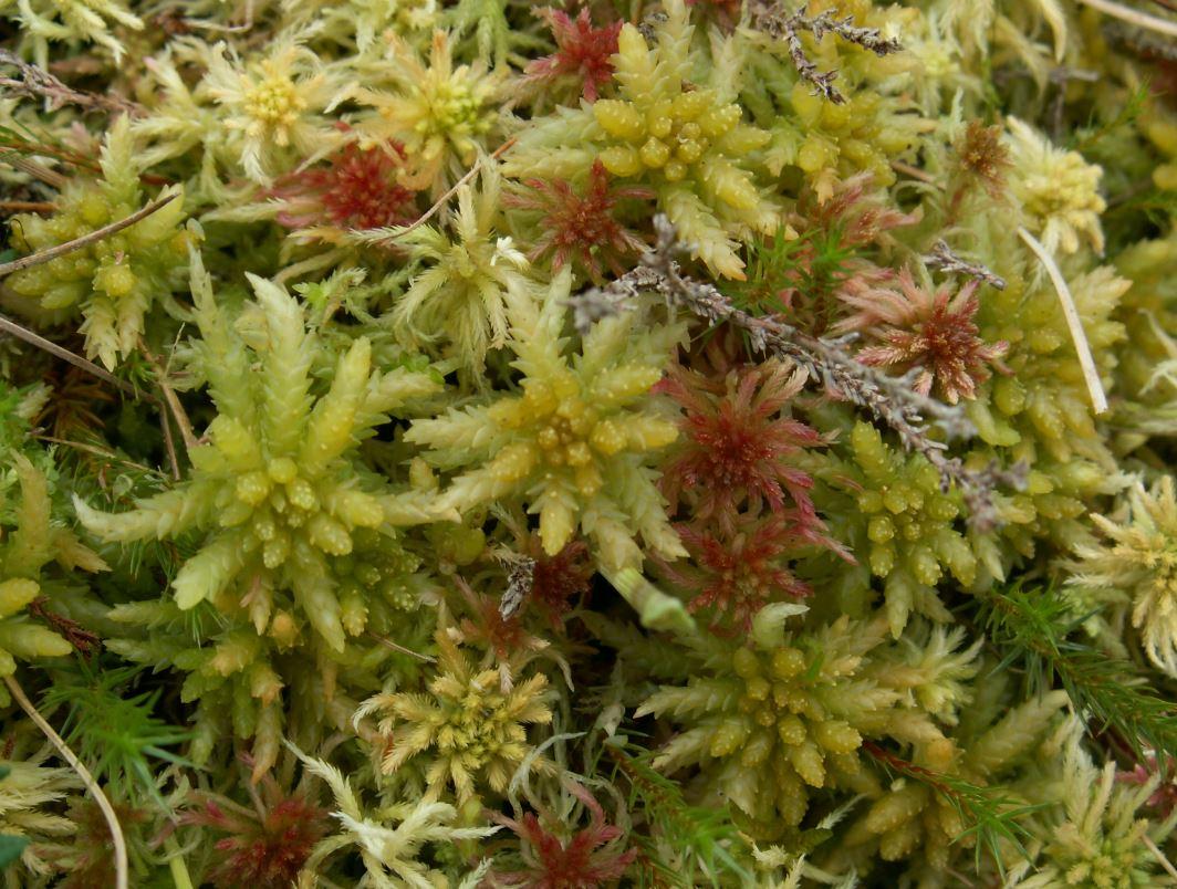 sphagnum planting