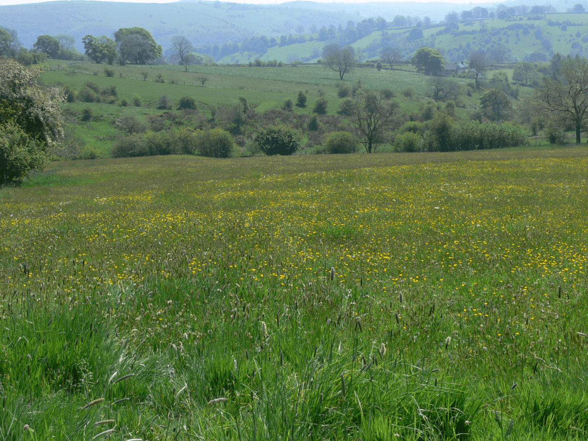 Warslow Hay Meadow